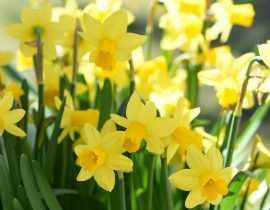 Les Narcisses ou jonquilles : Planter, Cultiver et Entretenir