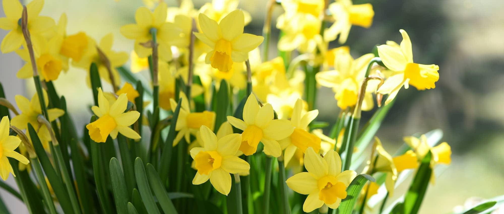 Jonquille narcisse plantation culture et entretien for Entretien jardin printemps