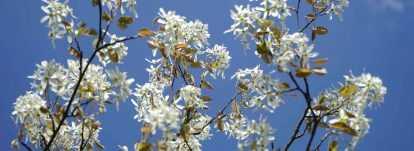 Amélanchier : planter, tailler, cultiver