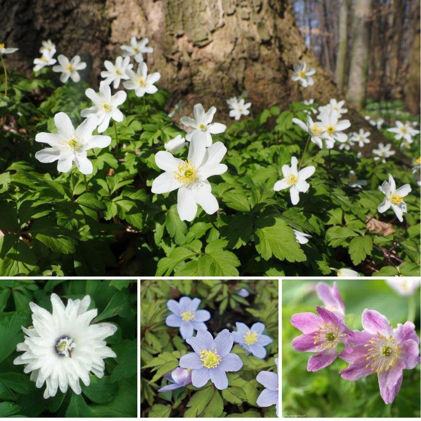 An mone des bois a nemorosa r ussir sa plantation for Promesse de fleurs