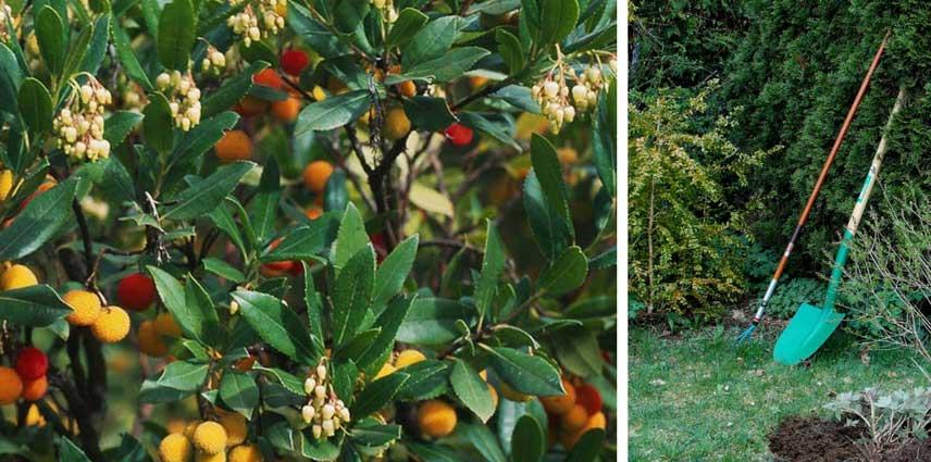 arbousier arbutus unedo plantation taille et entretien promesse de fleurs. Black Bedroom Furniture Sets. Home Design Ideas