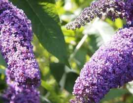 Buddleia, arbre aux papillons : plantation, taille, entretien