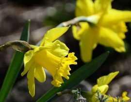 Narcisse ou jonquille : plantation et entretien