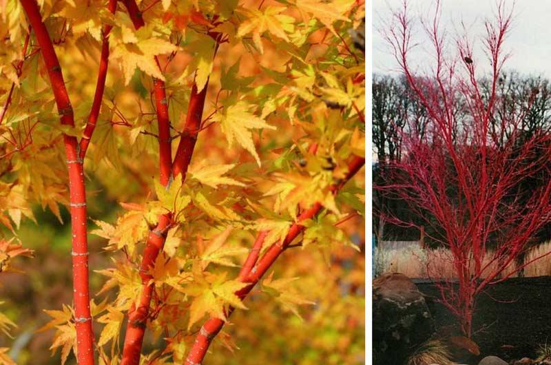 5 arbustes bois color qu il faut avoir dans son jardin d 39 hiver blog promesse de fleurs. Black Bedroom Furniture Sets. Home Design Ideas