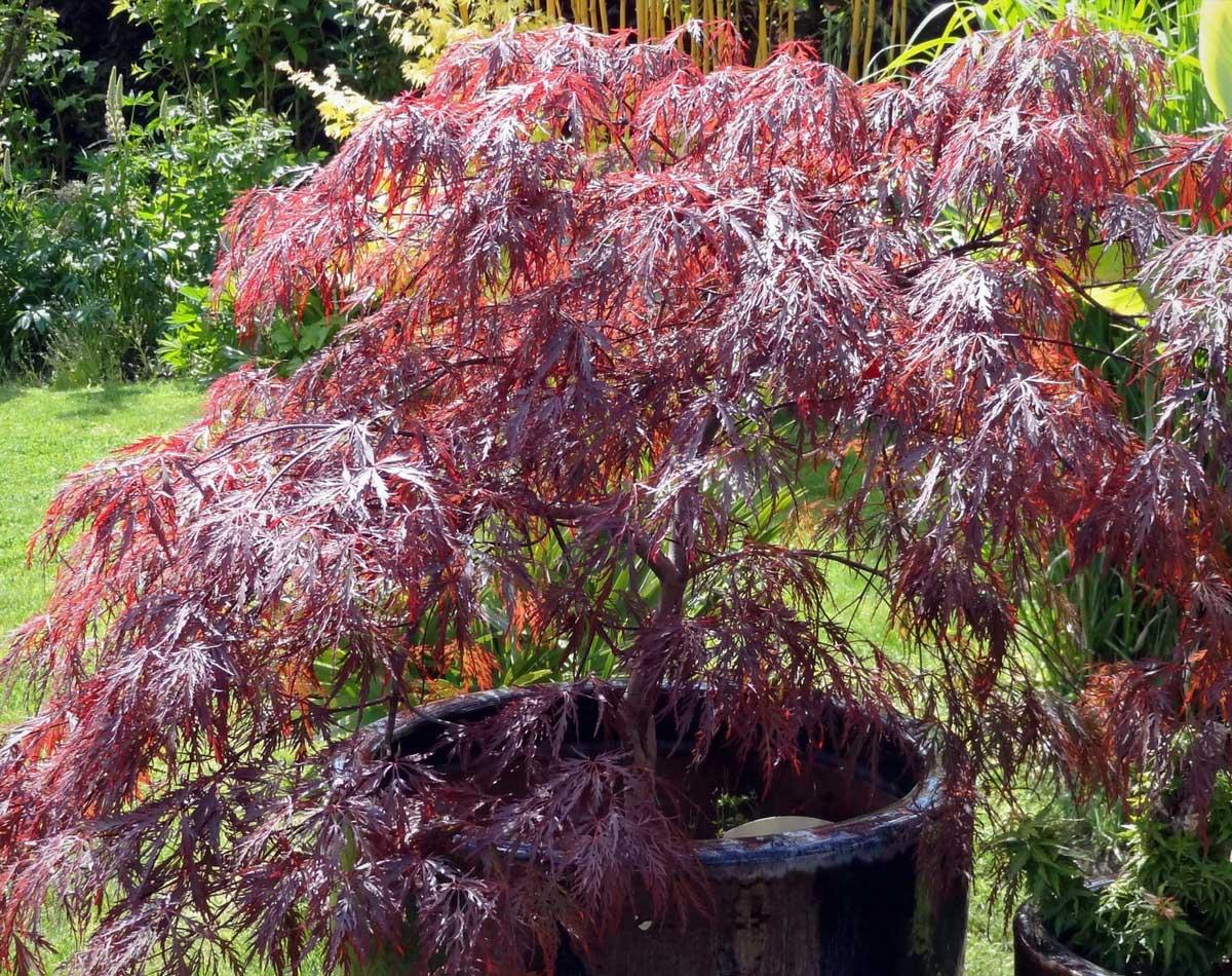 La Plantation De Lerable Du Japon Acer Palmatum Nos Conseils