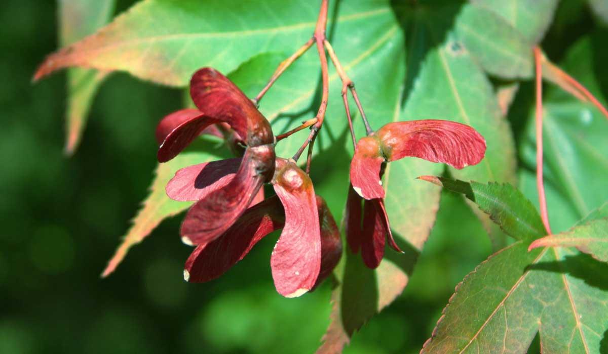 Erable du japon acer palmatum et autres rables japonais tout savoir promesse de fleurs - Erable du japon orange dream ...