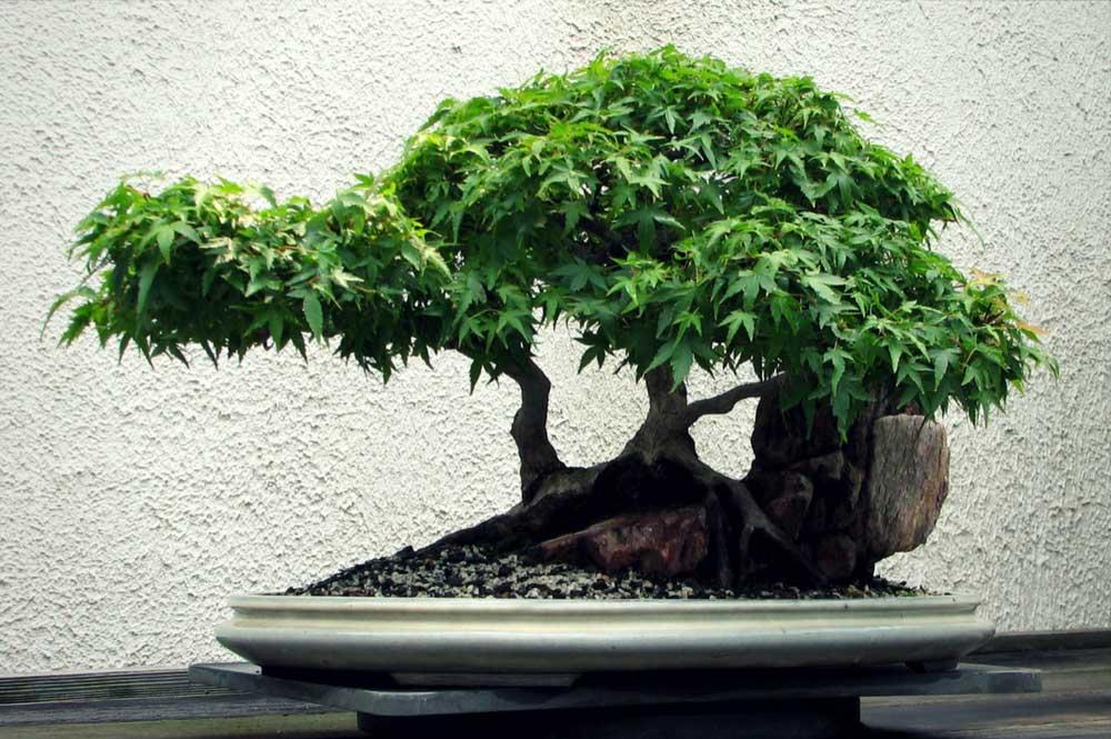 la taille de l 39 rable du japon d 39 entretien en bonsa ou niwaki promesse de fleurs. Black Bedroom Furniture Sets. Home Design Ideas