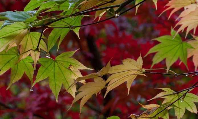 La taille de l 39 rable du japon d 39 entretien en bonsa ou niwaki blog promesse de fleurs - Maladie erable du japon ...