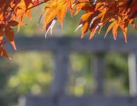 Érables du Japon : 9 idées d'associations réussies