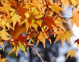 Erable du Japon : Planter, tailler et entretenir