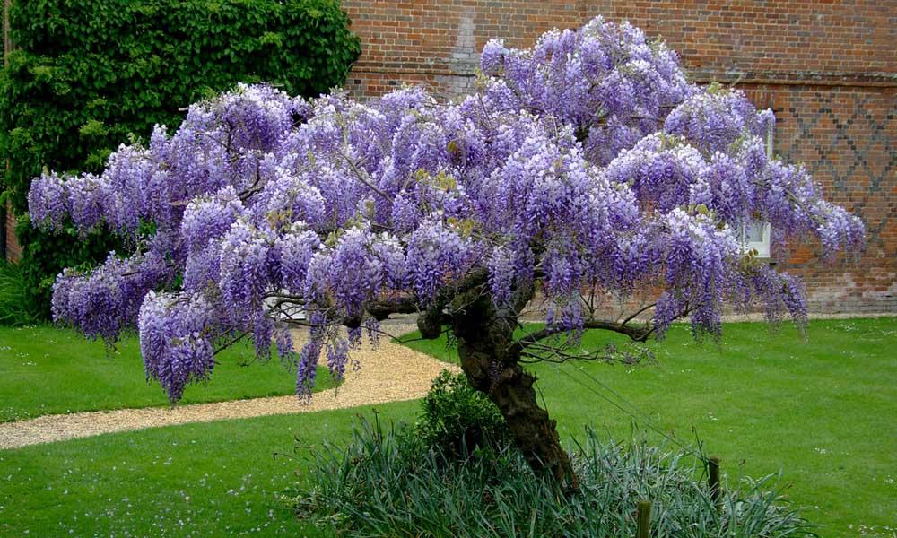 comment planter wisteria sinensis