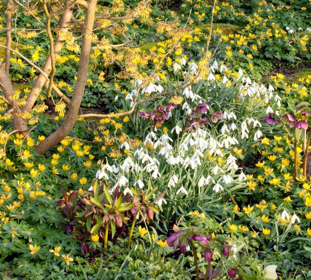 Associez vos hellébores à d'autres floraisons hivernales : hamamélis, Eranthis hyemalis, etc.