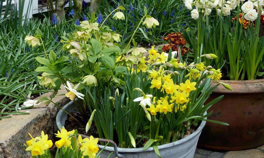 Une composition en pot : Helleborus et Narcissus