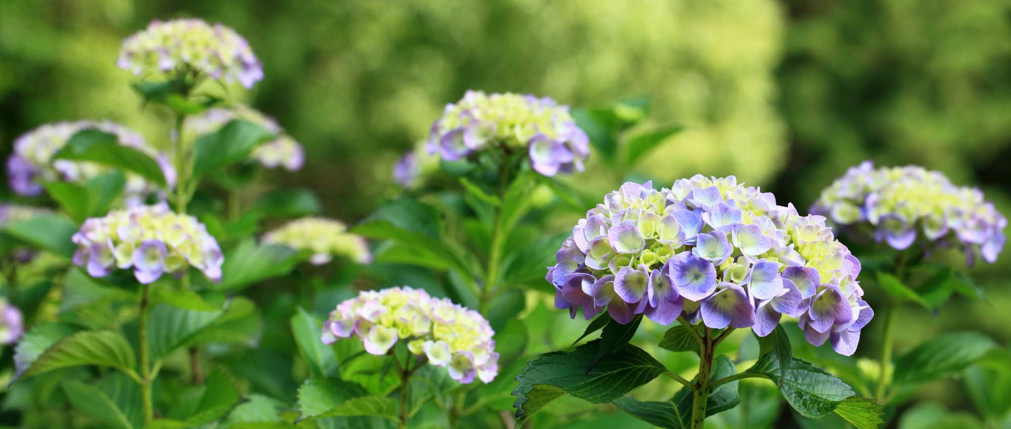 hortensia hydrangea quelle vari t choisir nos conseils promesse de fleurs. Black Bedroom Furniture Sets. Home Design Ideas