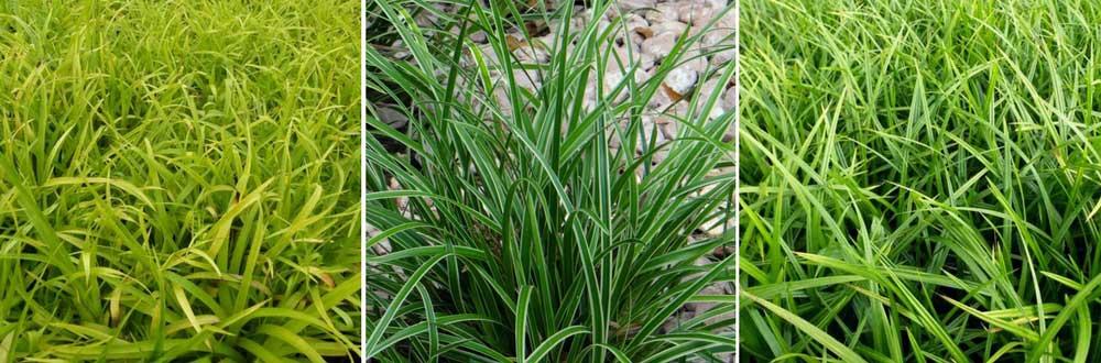 Des graminées cultivées en couvre-sol : Luzules et Carex
