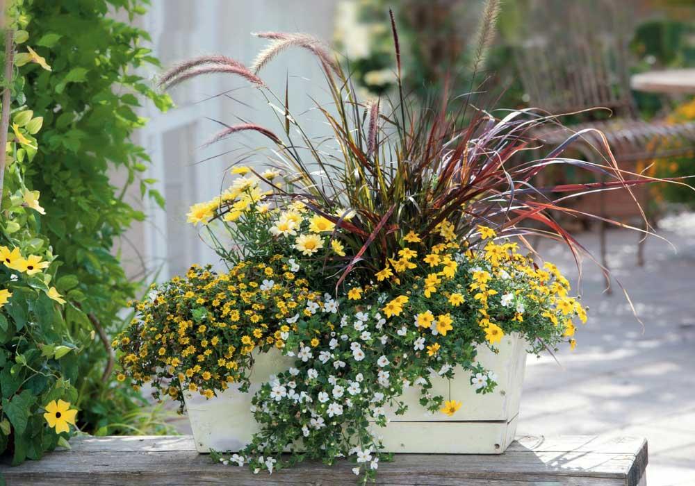 N'hésitez pas à planter des pennisetums en jardinière avec d'autres fleurs