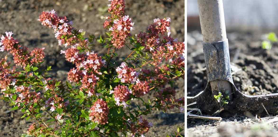 Abelia Plantation Culture Taille Et Entretien Promesse De Fleurs