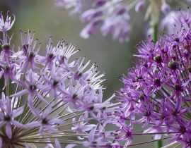 Allium, ail d'ornement : quelles variétés choisir ?