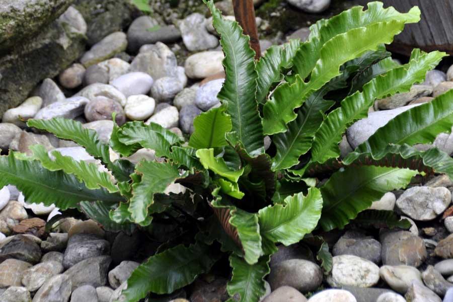 La scolopendre est une fougère adaptée aux rocailles