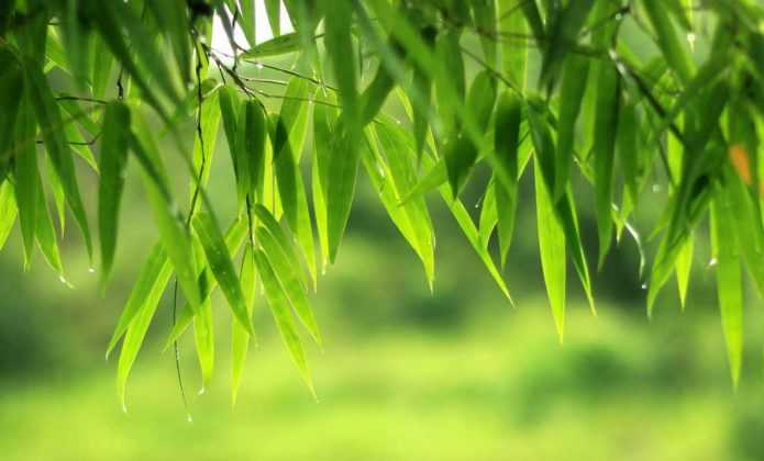Entretien et taille du bambou fiche conseil pratique for Cherche jardin a entretenir