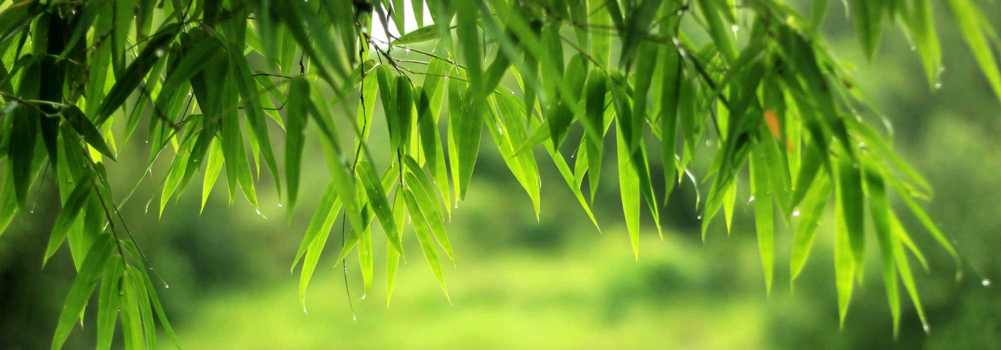 bambou planter tailler et entretenir nos conseils promesse de fleurs. Black Bedroom Furniture Sets. Home Design Ideas