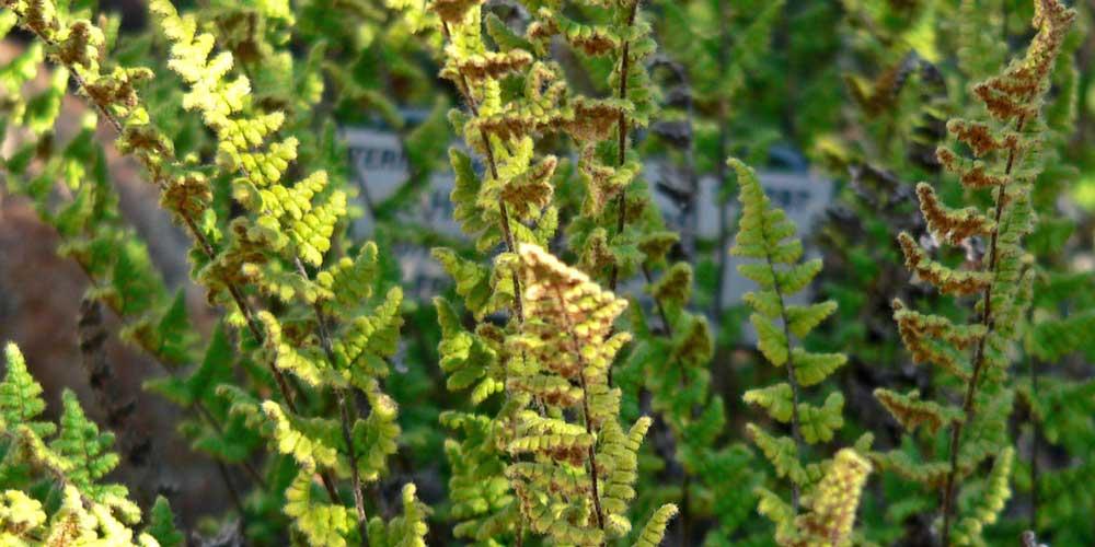 La fougère Cheilanthes lanosa supporte la sécheresse