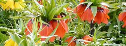 Fritillaire : plantation, culture, entretien
