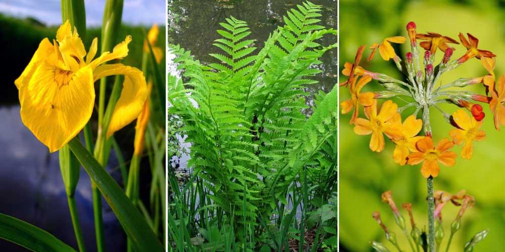 Au bord d'un bassin : fougères, Iris des Marais et primevères asiatiques