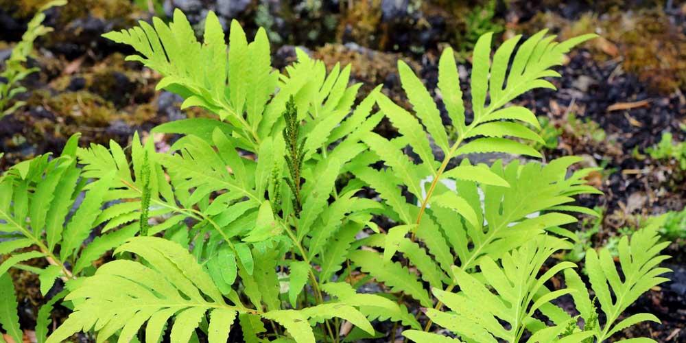 L'Onoclea sensibilis pousse en couvre-sol