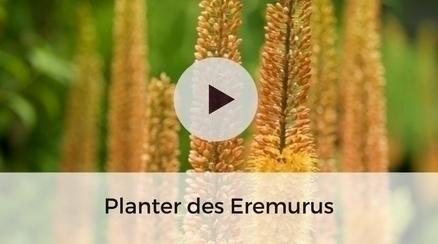 Planter des Eremurus