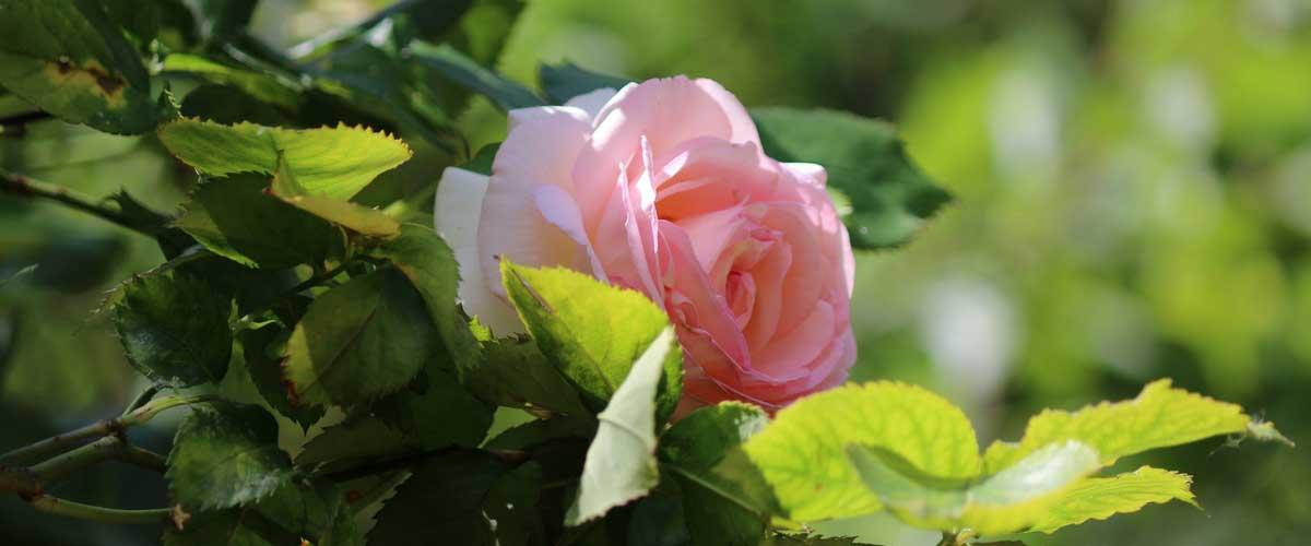 Rosiers choisir planter et cultiver promesse de fleurs - Comment couper un rosier ...