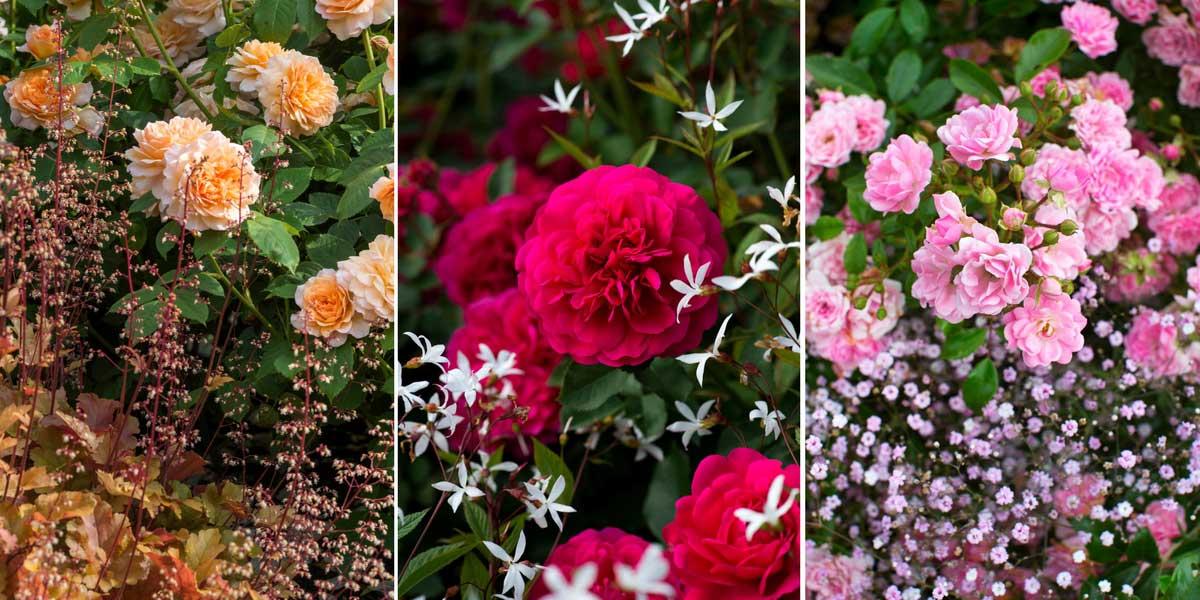 Rosiers choisir planter et cultiver blog promesse de fleurs - Rouille rosier traitement naturel ...
