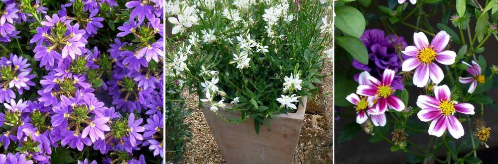 Une idée de composition pour pot ou jardinière avec le gaura