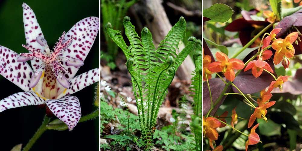 Pour un jardin de sous-bois : Tricyrtis, Fougère plume d'autruche et Epimédium