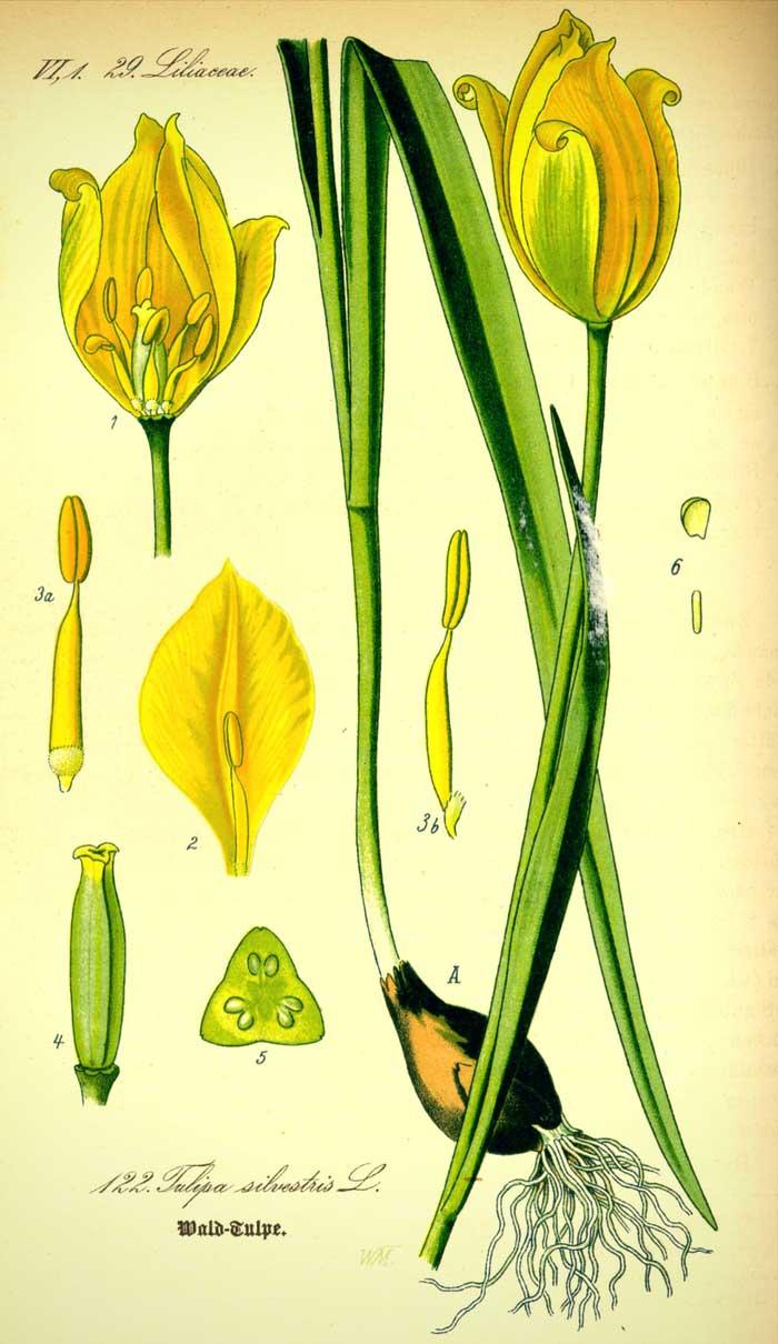 planche botanique - tulipe des bois
