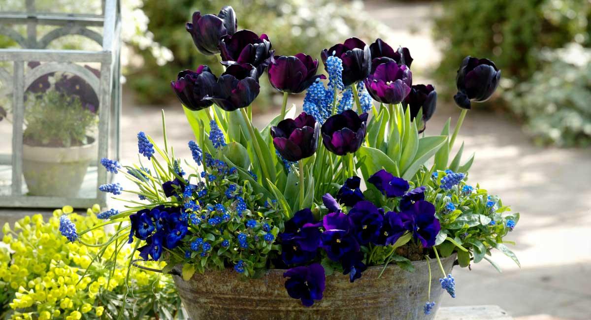 Tulipes en pot avec des muscaris et Viola