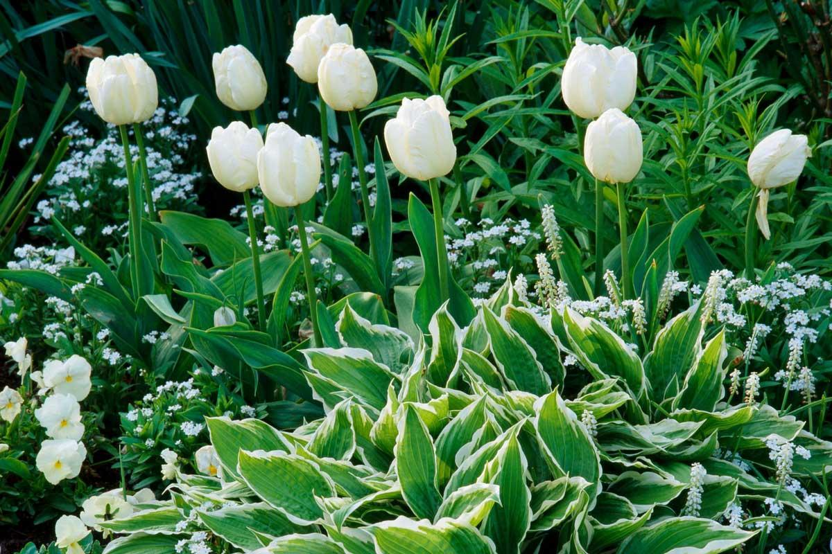 Tulipes - Idée d'association en blanc