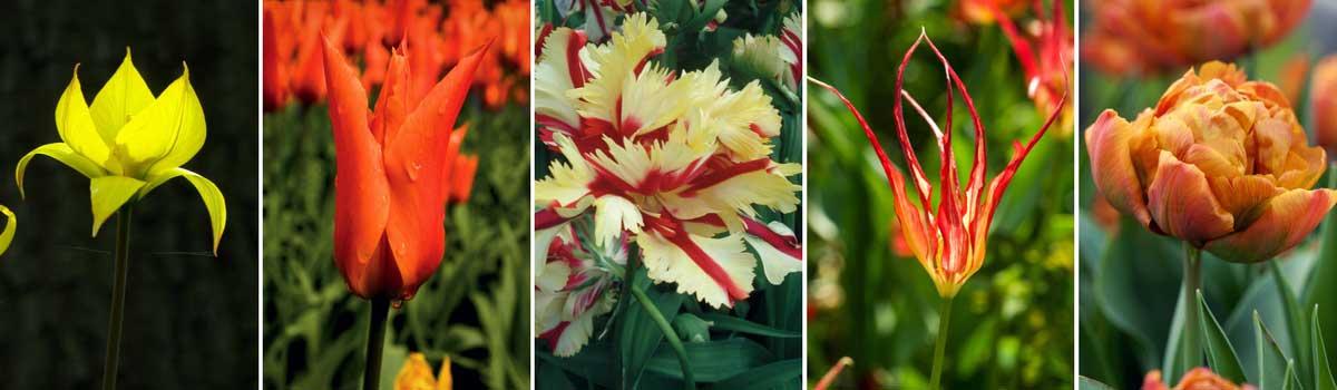 Les différentes formes de fleurs de tulipes