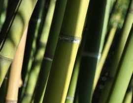 Quel type de bambou choisir ? Nos conseils