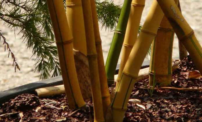 Cultiver un bambou en pot