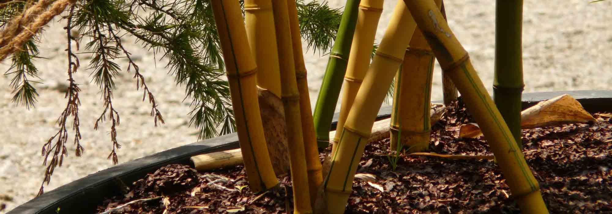 bambou en pot : comment cultiver en 5 points - nos conseils