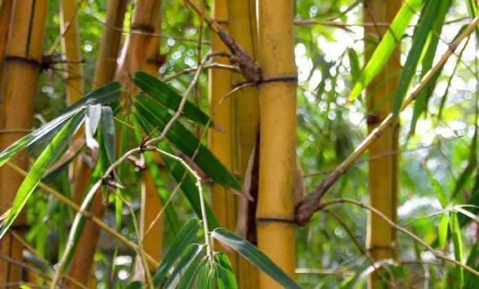 Bambou : une plantation réussie en 4 étapes