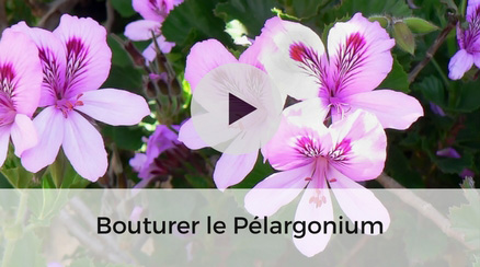 Bouturer un Pélargonium