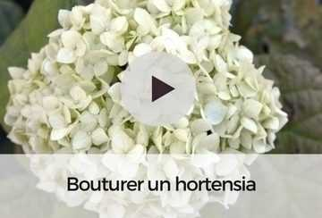 hydrangea arborescens annabelle hortensia aux normes boules blanches. Black Bedroom Furniture Sets. Home Design Ideas