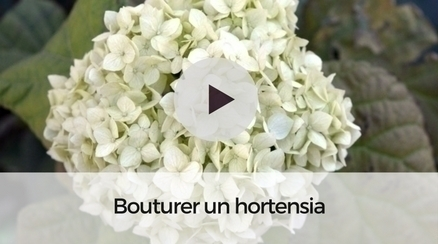 Comment bouturer un hortensia ?