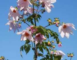 Le Dahlia imperialis, plus facile à cultiver qu'on le dit !