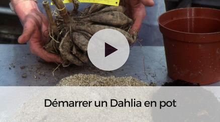 Démarrer un dahlia en pot