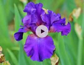Diviser les iris
