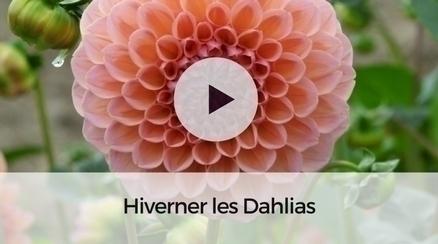 Hiverner les dahlias - Vidéo pour apprendre à hiverner efficacement vos dahlias