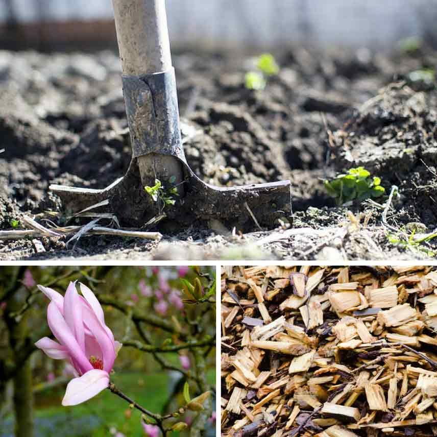 Magnolia: bien le planter en 4 étapes - Promesse de Fleurs